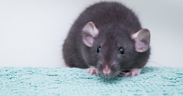 Common Health Problems in Pet Rats
