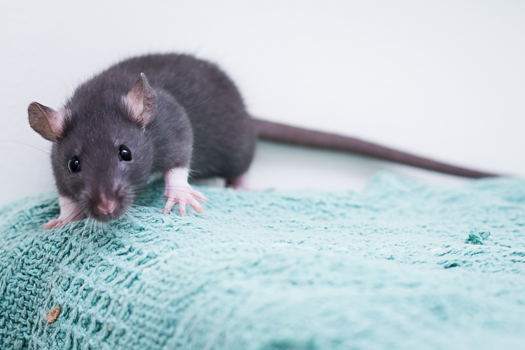 Rats as Pets?  Why on earth….?
