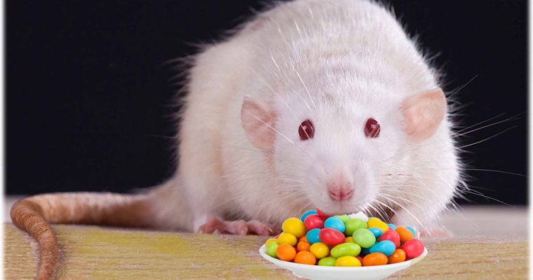 Rat Diet – What do Pet Rats Eat