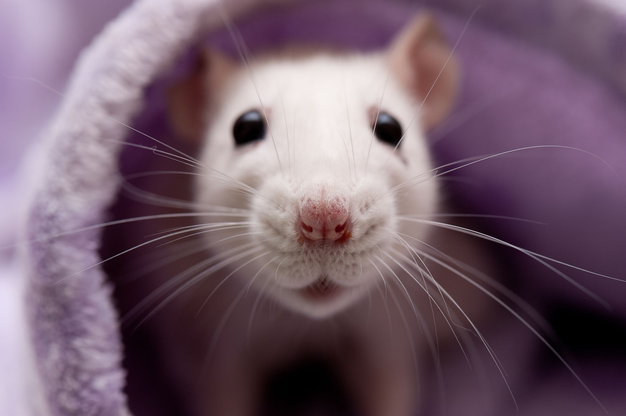 Are Rats The Right Pet For Me